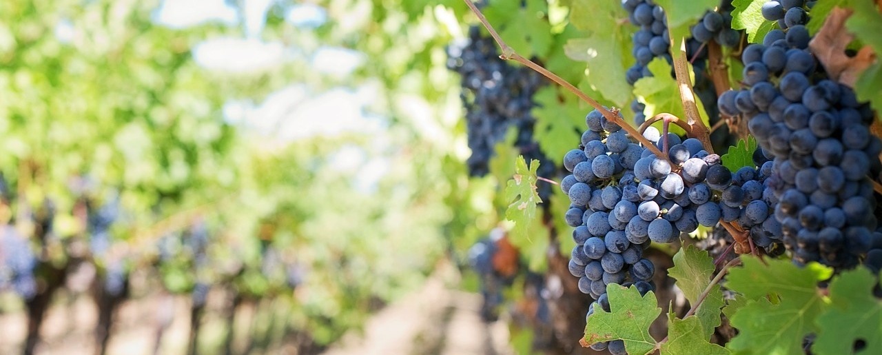 purple-grapes-553462_1280